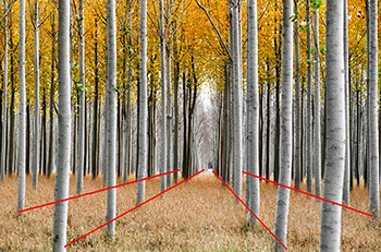 poplars-with-lines-350